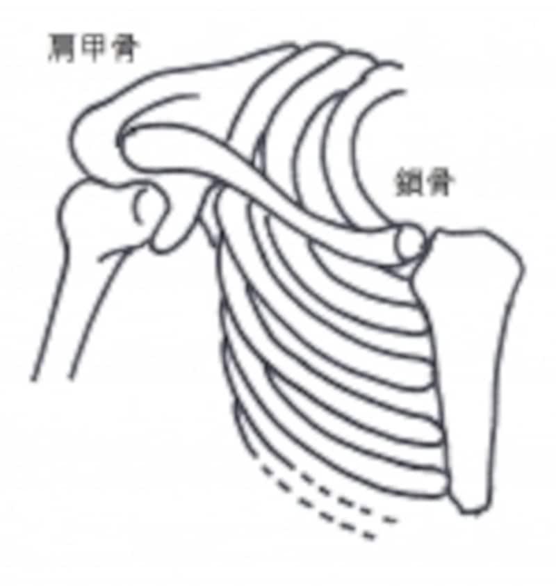 肩甲骨と鎖骨