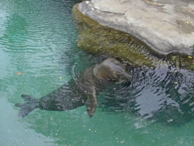 ハワイだけに生息しているハワイアンモンクシール。ワイキキ水族館には、マカくんとホアイロナくんの2頭が暮らしています