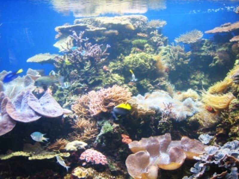 オオシャコ貝が棲む水槽。予想外な外見(画像下のキノコ状)ゆえに、カラフルな熱帯魚に気を取られていると見逃してしまうのでご注意を