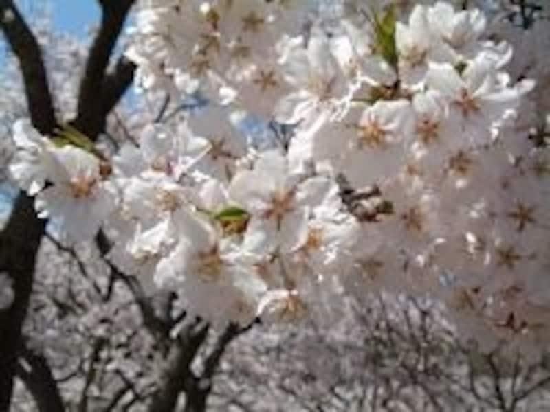 高遠でしか見ることができない桜、タカトオコヒガンザクラ