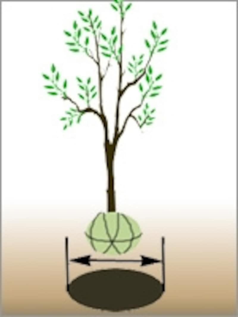 植え穴は、根鉢よりも大きく掘る