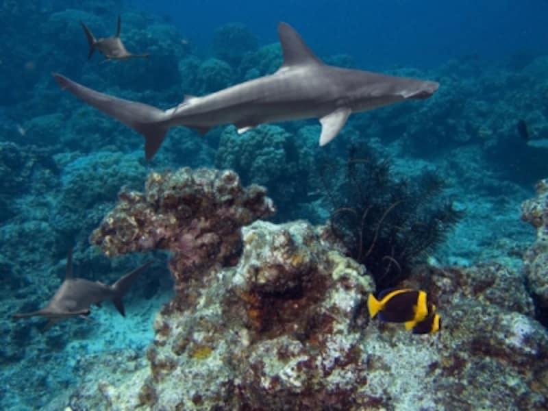 巨大水槽「ハワイアン・シャーク・タンク」を泳ぐサメの体長は、1~1.2メートル。画像はアカシュモクサメ(ハンマーヘッド)