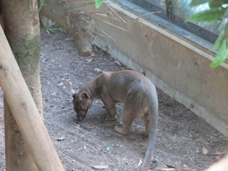 こだわりオートundefinedF2.51/80秒ISO320undefined18.8mm(86mm相当)「フォッサ」undefined日本では上野動物園以外では見ることのできない、マダガスカル島で最大の肉食獣。動きが速く、なかなか撮影の難しい被写体だ