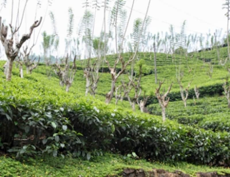 ニュービターナカンダティーファクトリー所有の茶畑