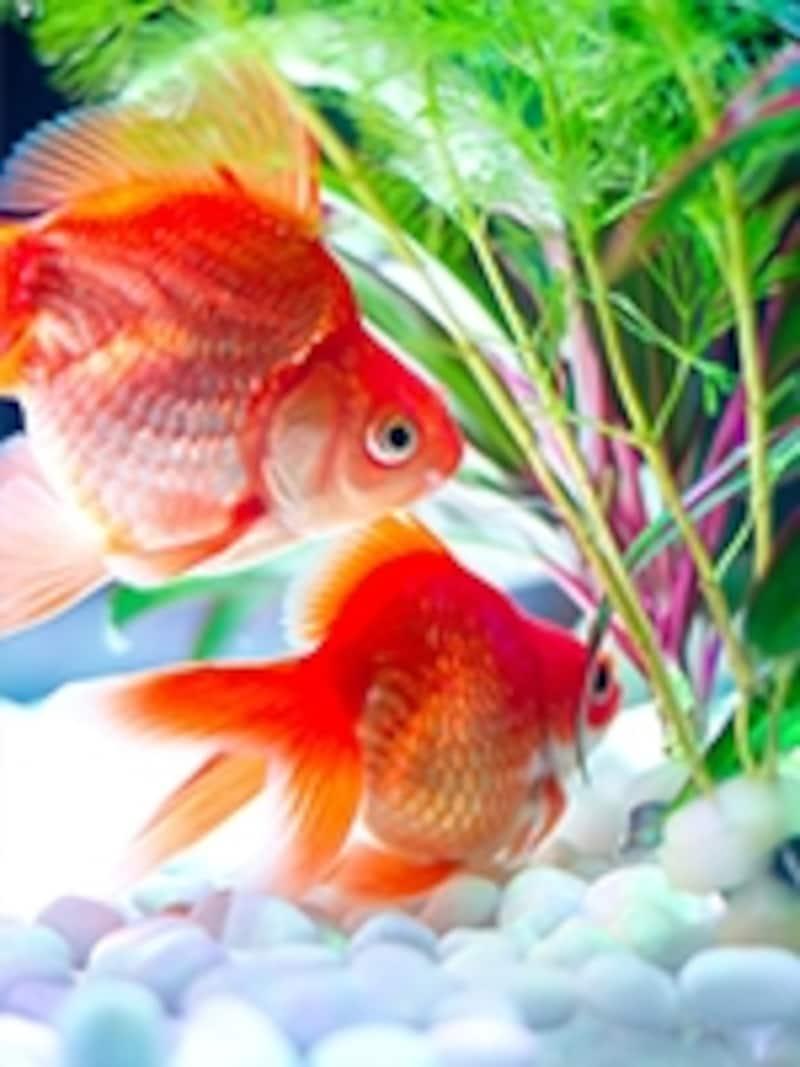 優雅に泳ぐ金魚の寿命は?