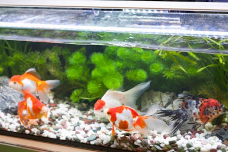金魚が動かない・元気がないときの治療方法