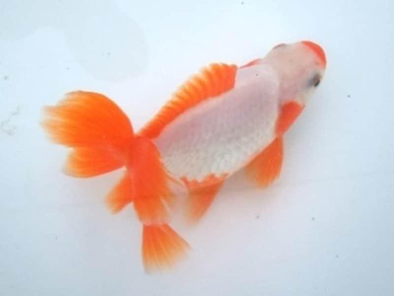 地金とは、愛知県の天然記念物とされる金魚