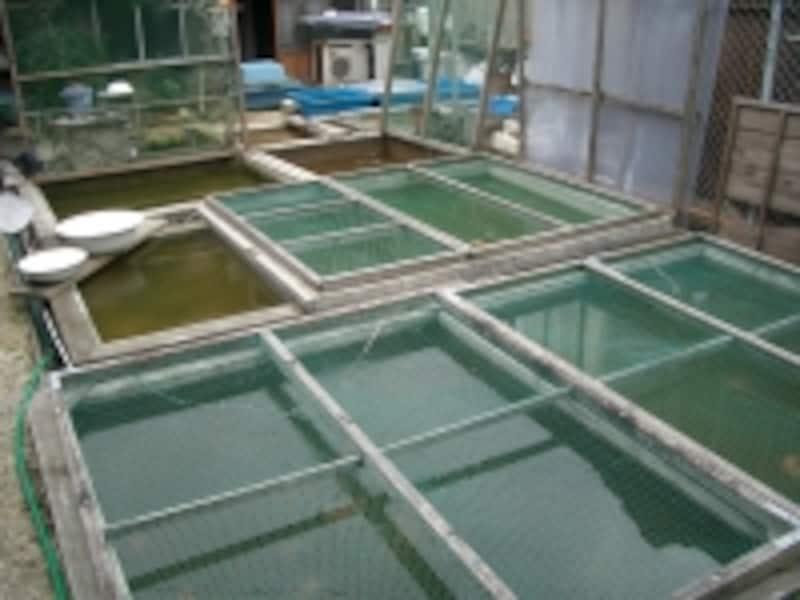 優良魚を多数飼育されている地金愛好家の方の飼育環境