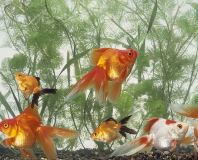 良い金魚の選び方、飼育の前に覚えておきたい5つのポイント!