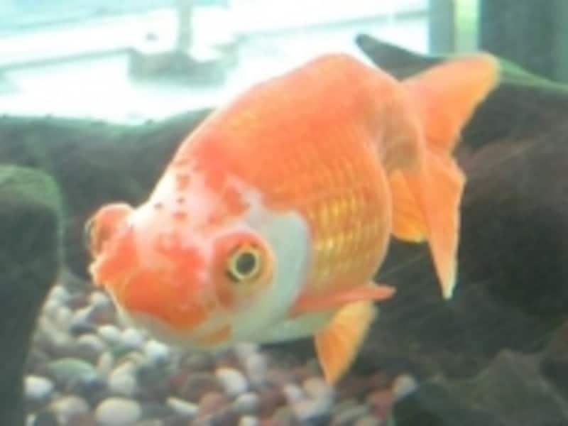 背ビレがない金魚の場合は、背なり(背中のライン)も注意して見てみましょう