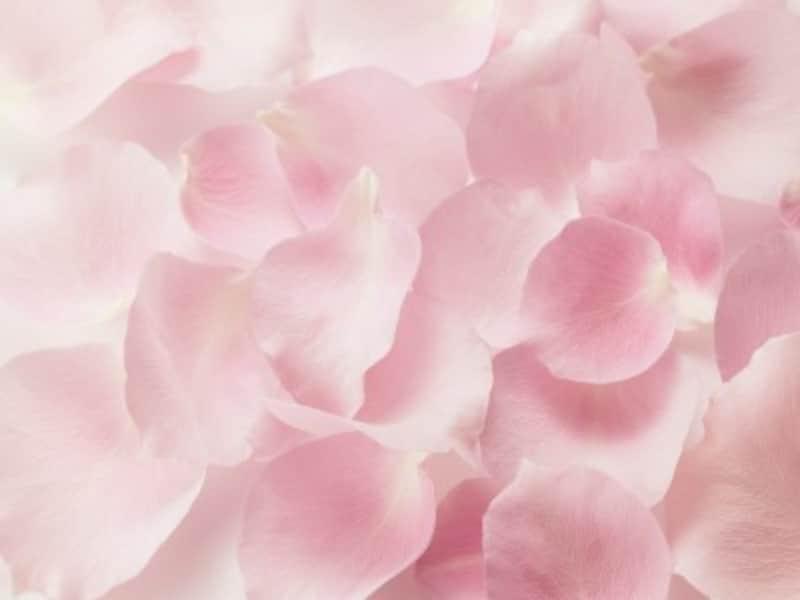 薔薇の花は早朝に人の手で摘み、花びらを1枚1枚取ります。