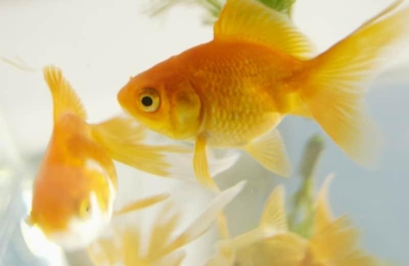 金魚を鑑賞しよう