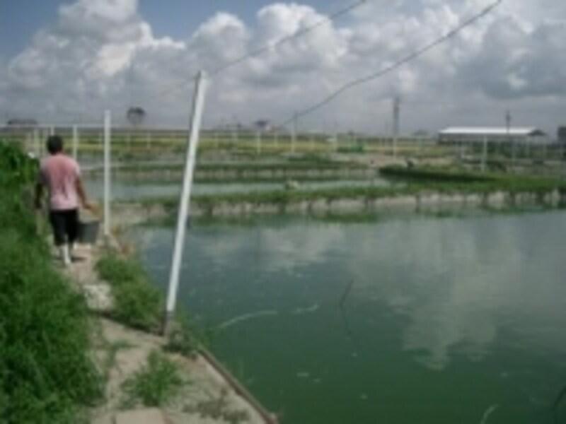 広大な面積を持つ深見養魚場