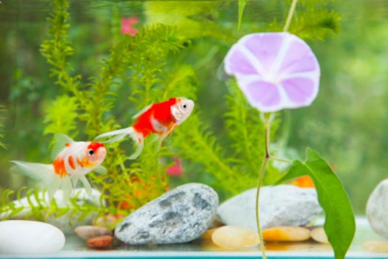 金魚の引っ越しはどうする?