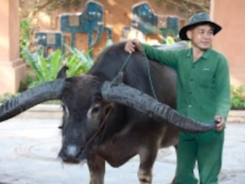 立派な角を持つ水牛。こちらもリゾートで飼育されている