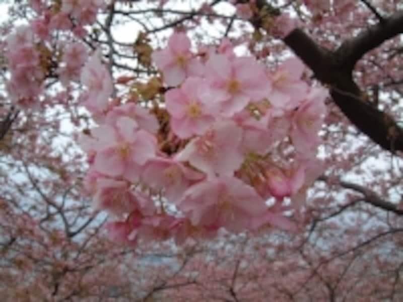 松田・西平畑公園の河津桜(2)