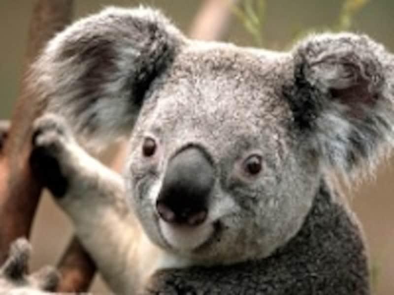 オーストラリアの恵みユーカリ。薬効は長い歴史の中で知られています!