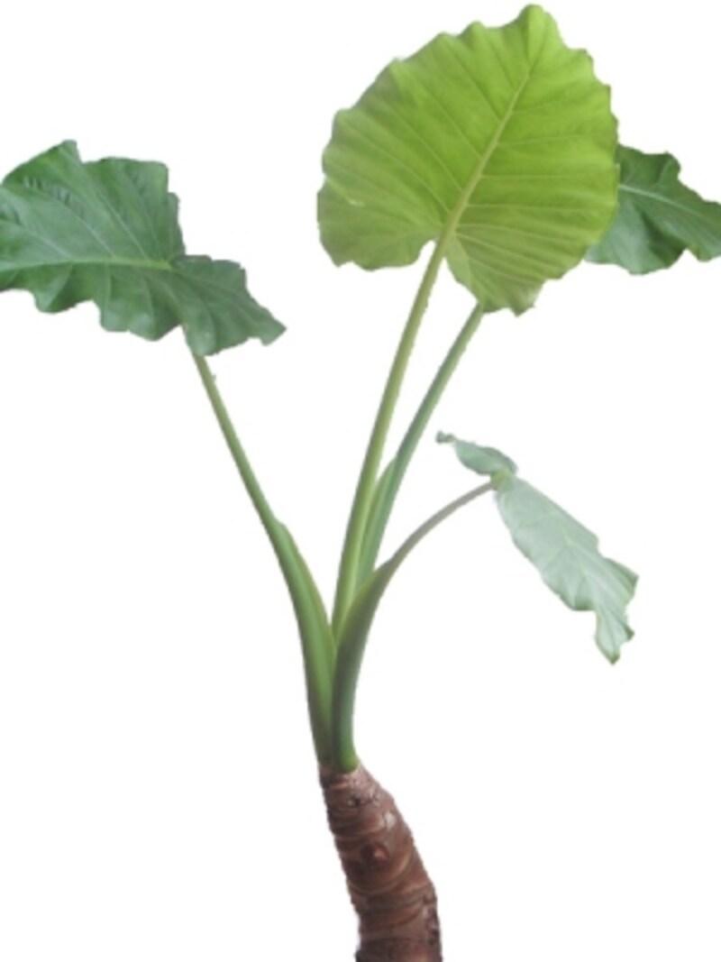 クワズイモ