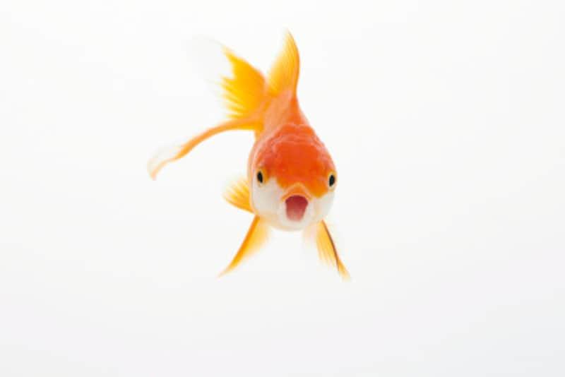 金魚 縦 泳ぎ
