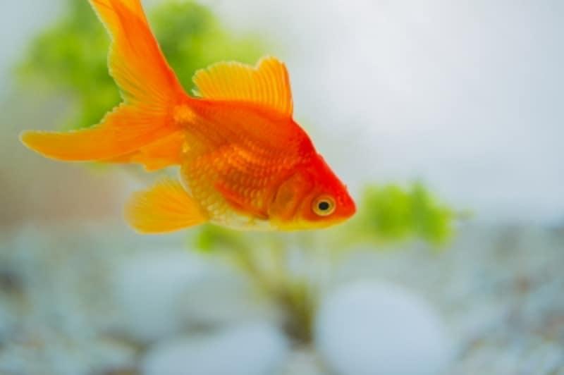 金魚についてもっと知りたい!