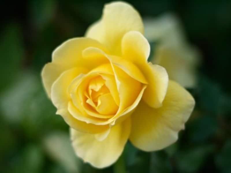 ブリザーブドの王道のバラ。1本1本しっかり見極めることが大切です
