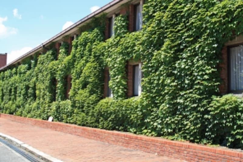 壁を覆うツタは、温度調節のために植えられたものなのだそう
