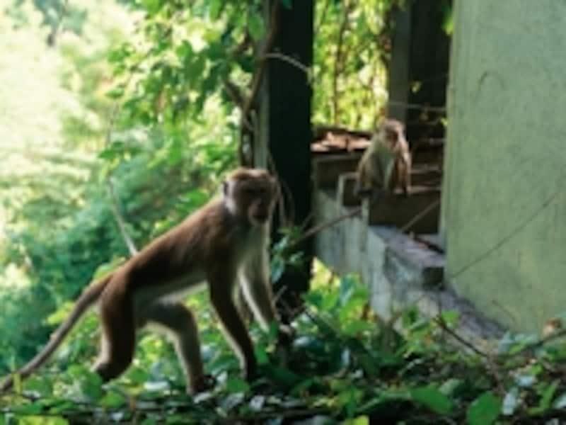 ベランダに寄って来る猿は部屋の中のおやつを狙っているので、窓にはしっかりロックを掛けて