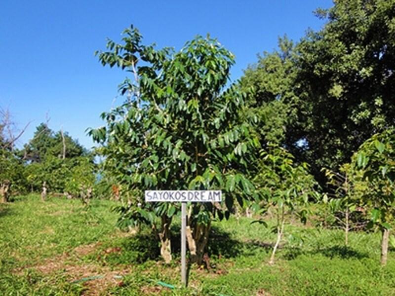 近藤さんが滞在したハワイ島のコーヒー農園。