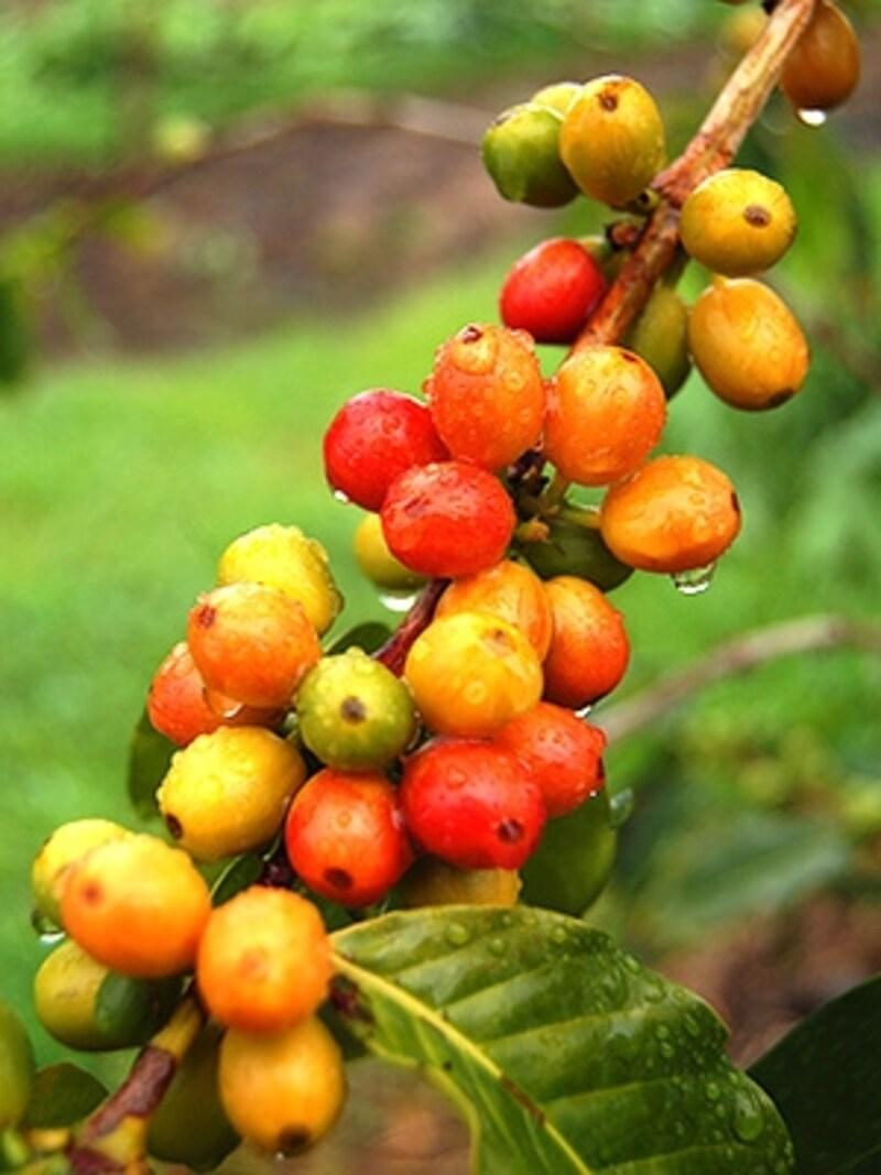 赤く色づいていくコーヒーの実。