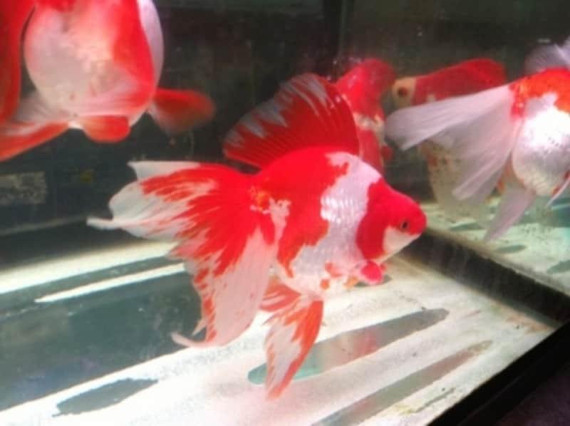 金魚の代表的な品種である琉金(更紗)