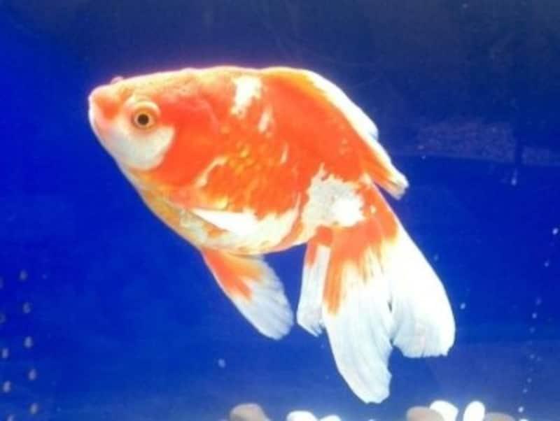 江戸時代金魚の飼育が広まった