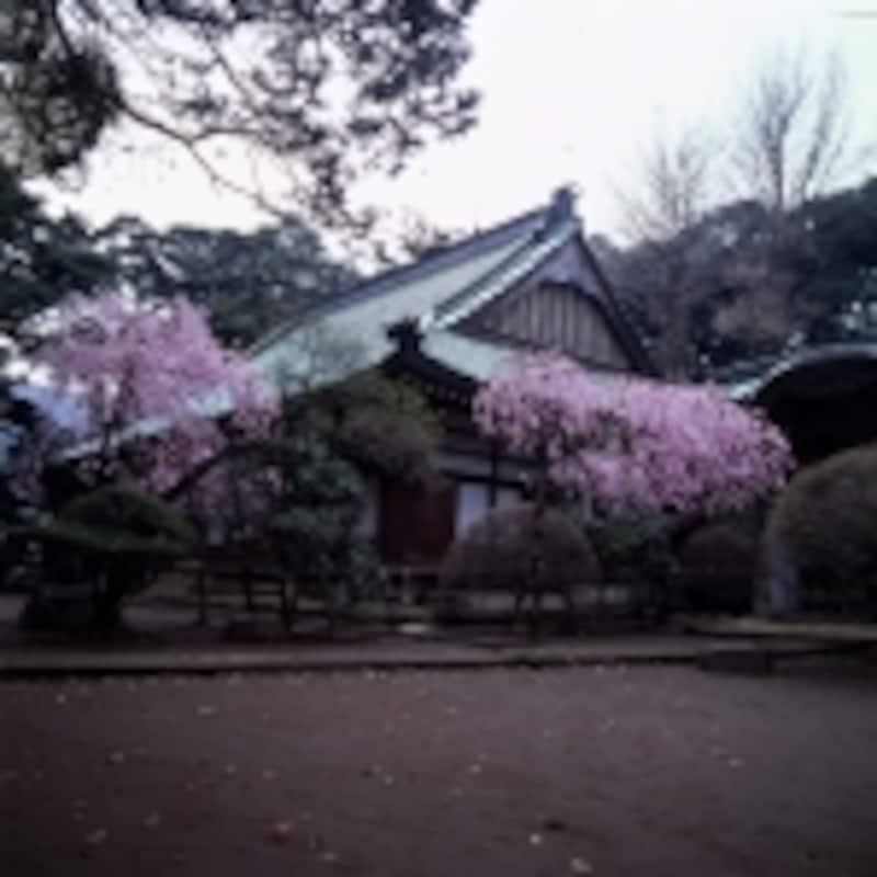 早雲寺の桜