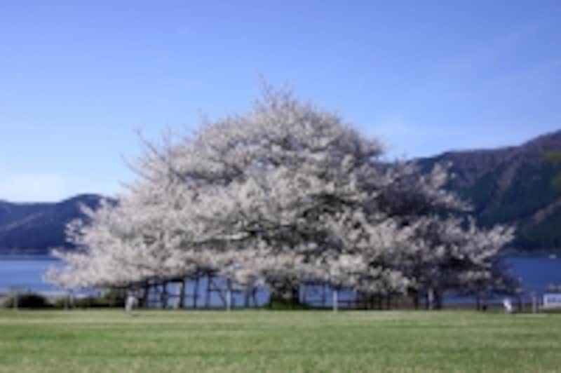箱根園の桜