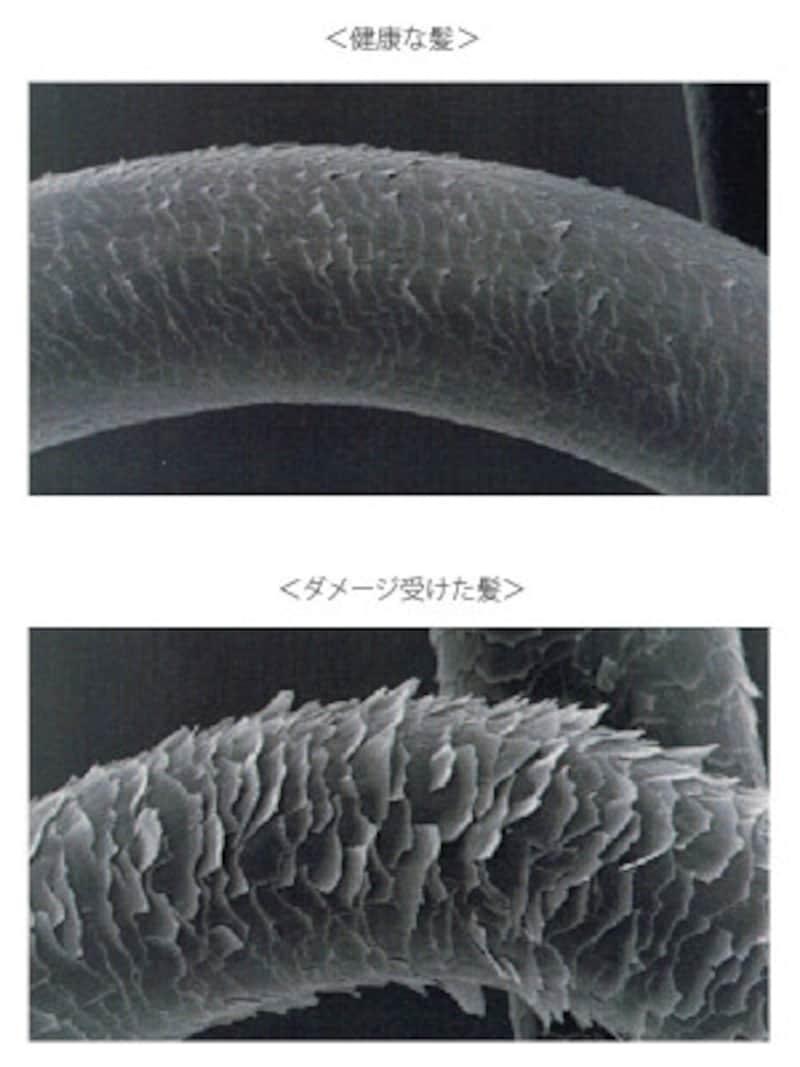 紫外線や摩擦でダメージを受けるとキューティクルは毛羽立った状態に