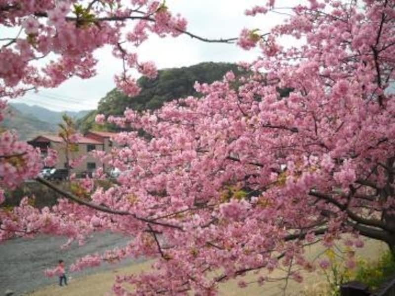伊豆・河津で河津桜を満喫