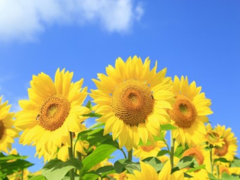ヒマワリの明るい花色もお日様のイメージに