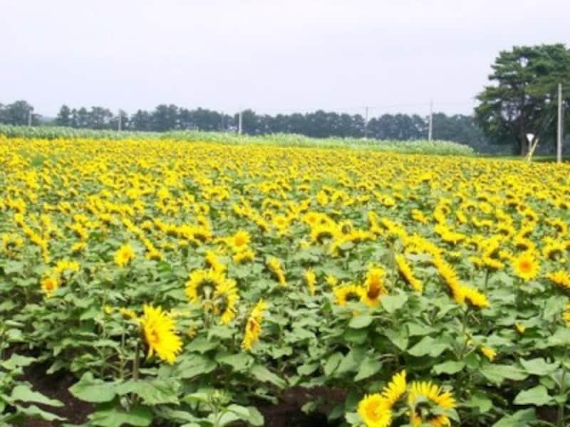 様々な活用法がある、一面のヒマワリ畑