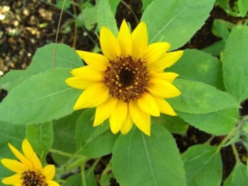 ヒマワリの花、一輪かと思ったら実は……
