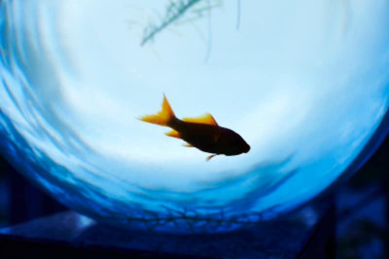 珍しい金魚の種類