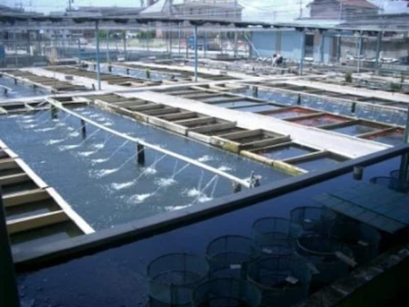 金魚の問屋さんの池。仕入れた金魚はこの池から出荷される