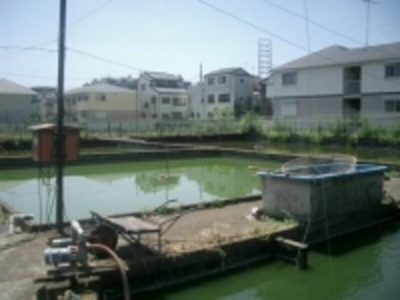 東京江戸川の堀口養魚場の風景
