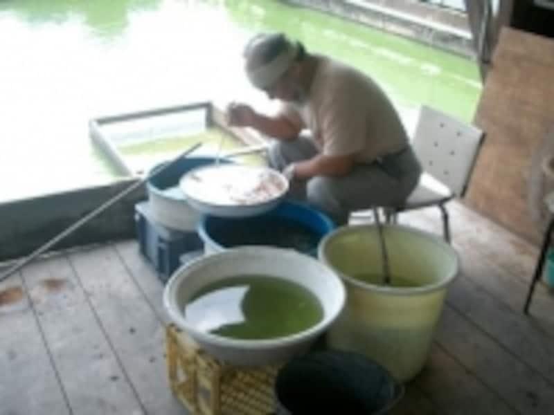金魚を選別中の堀口養魚場の堀口さん