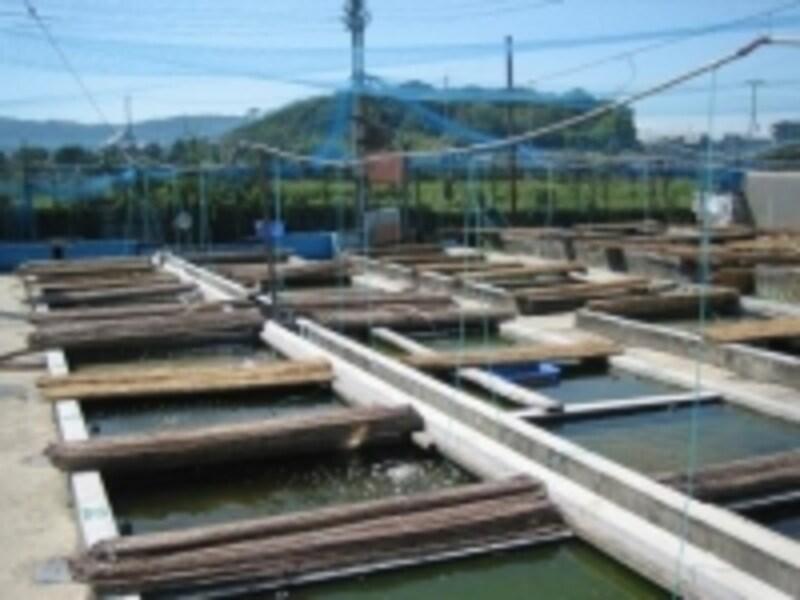 奈良県大和郡山のやまと錦魚園の風景