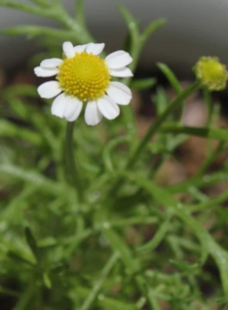 小さく、可憐な花undefinedジャーマンカモミール
