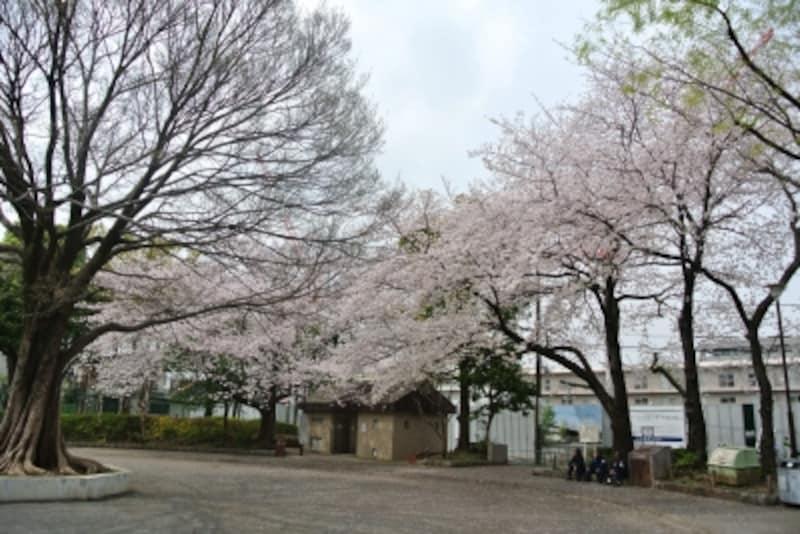 桜の花が咲く公園に近接した現地
