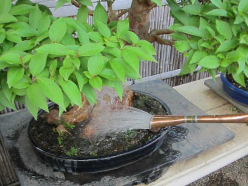 盆栽の水やりの詳しいやり方