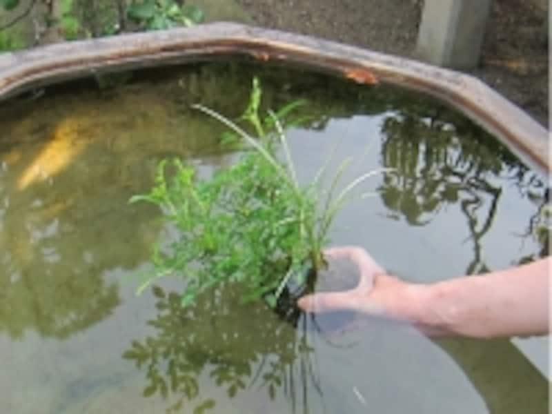 盆栽の鉢ごと静かに水に浸します