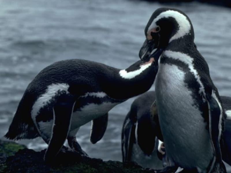 ペンギンたちの群れを観察するのもパタゴニアの醍醐味undefined写真提供:アルゼンチン観光局