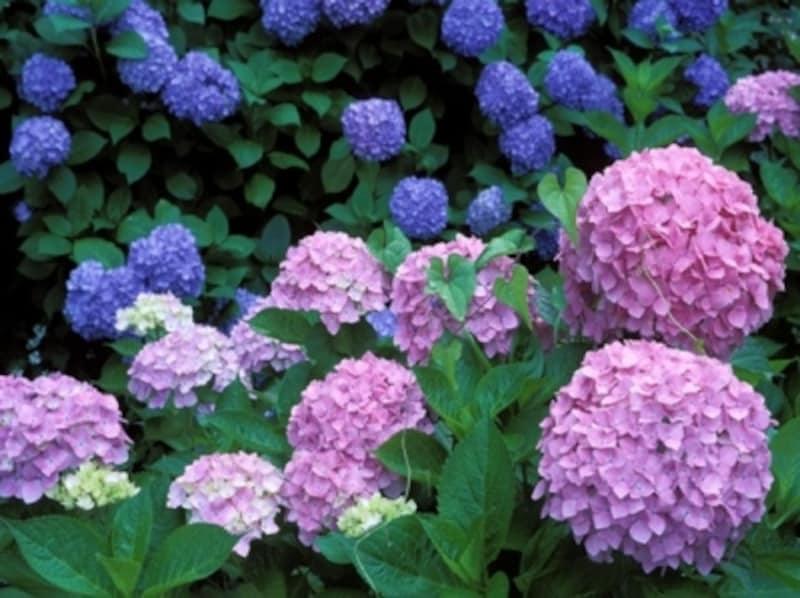 紫陽花の豆知識…よく見かける手まり状のあじさいは、西洋あじさい