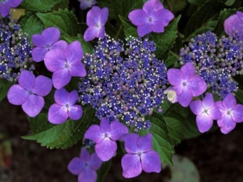 紫陽花(あじさい)の豆知識…梅雨に咲く紫陽花はガクが美しい。花びらに見えるのはガクの部分で、中心部に小さな花を咲かせる
